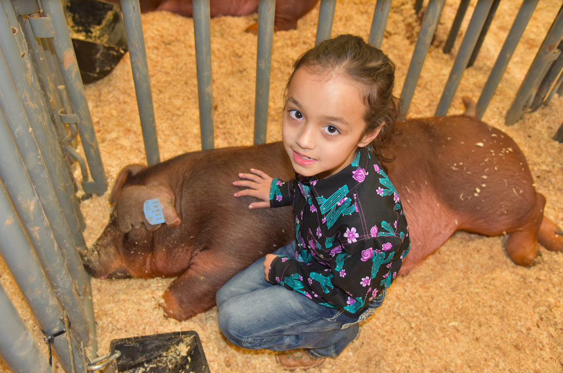 Lilah Lyons with her Duroc pig named Bucks, which won Reserve Grand Champion. Lilah came from Kyle to compete and is the fourth generation of her family to participate in livestock shows. Bucks is six months old and weighs 240 lbs. Duroc pigs are one of the older breed of domestic pigs. They're known for their reddish-brown, large framed bodies with partially dropping ears. CENTURY NEWS PHOTO BY JOHN PACHECO