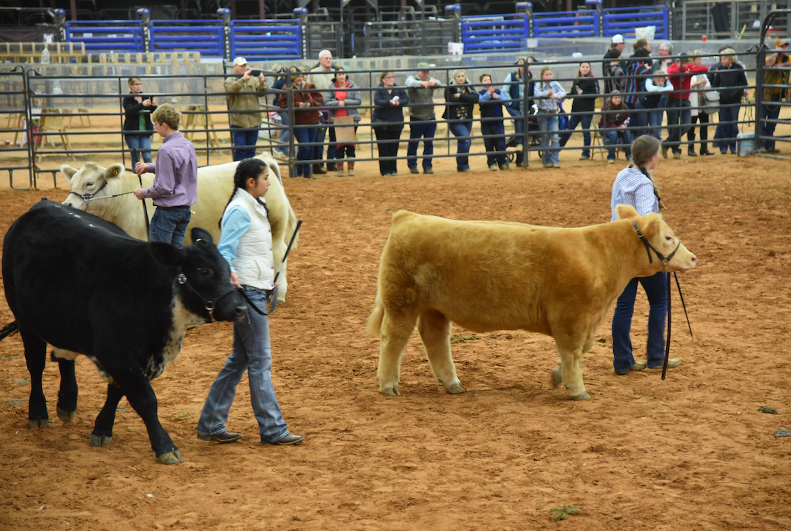 Steer judging competition in the arena on Thursday night. CENTURY NEWS PHOTO BY JOHN PACHECO